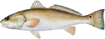 redrum(bull-redfish)